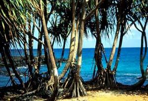 Comores Pandanus trees