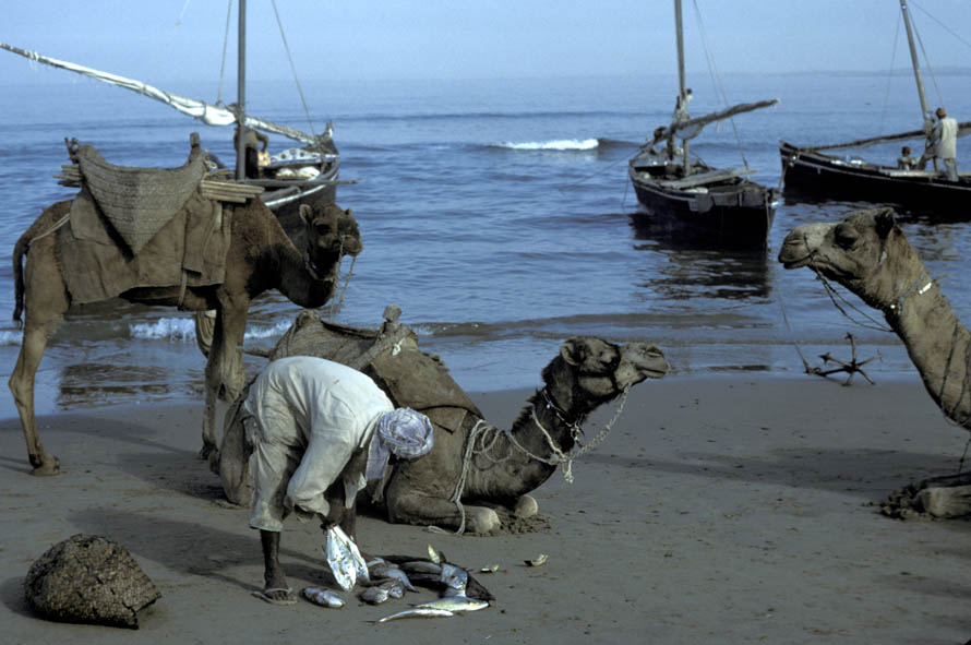 A man loading his fish onto camels on the Makran Coast of Pakistan