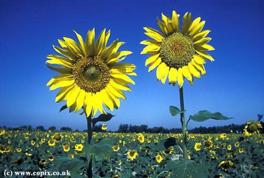 INDIA rural sunflowers Punjab IDA1155 copy