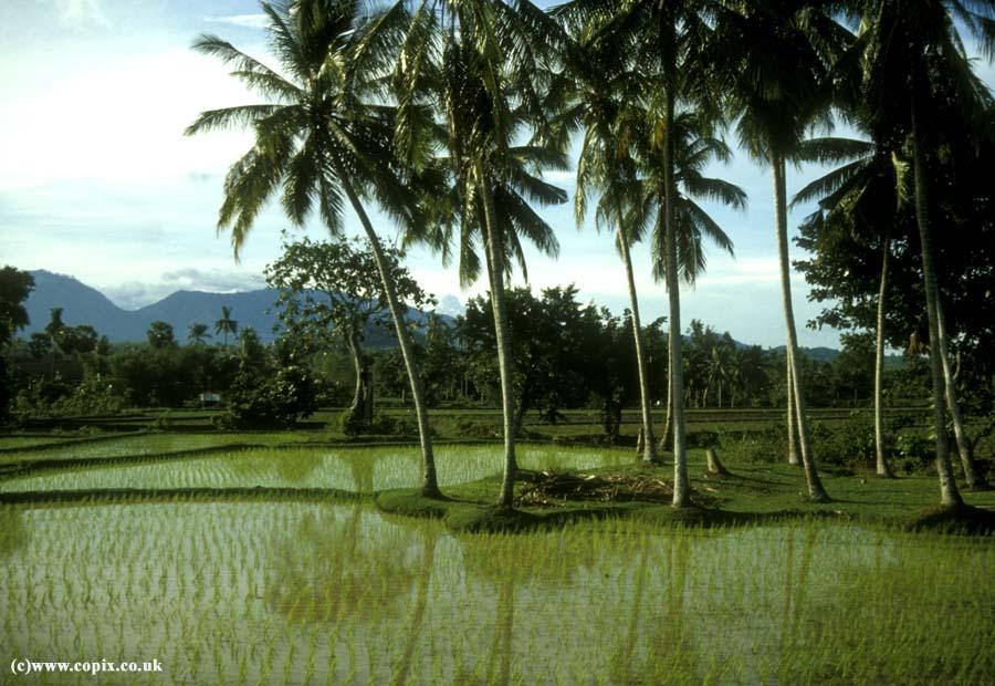 Rice paddies in Sulawesi, Indonesia