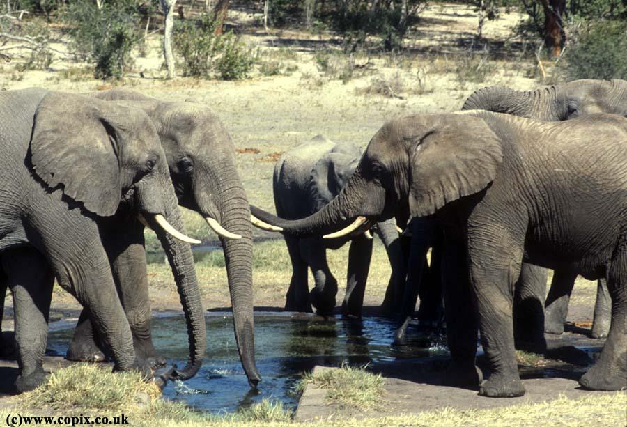 Elephants at water hole Hwankie Zimbabwe 1984